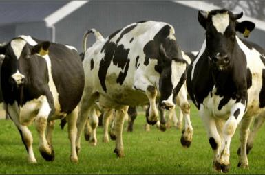 Koeien springen