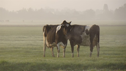 Koeien in de mist