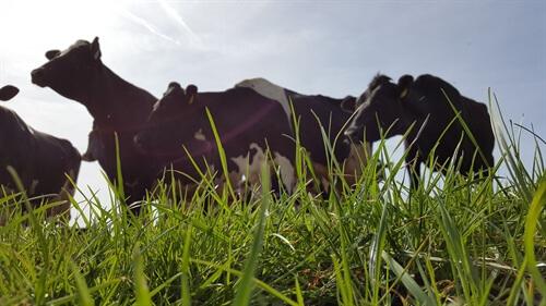 Veestapel - koeien in de wei