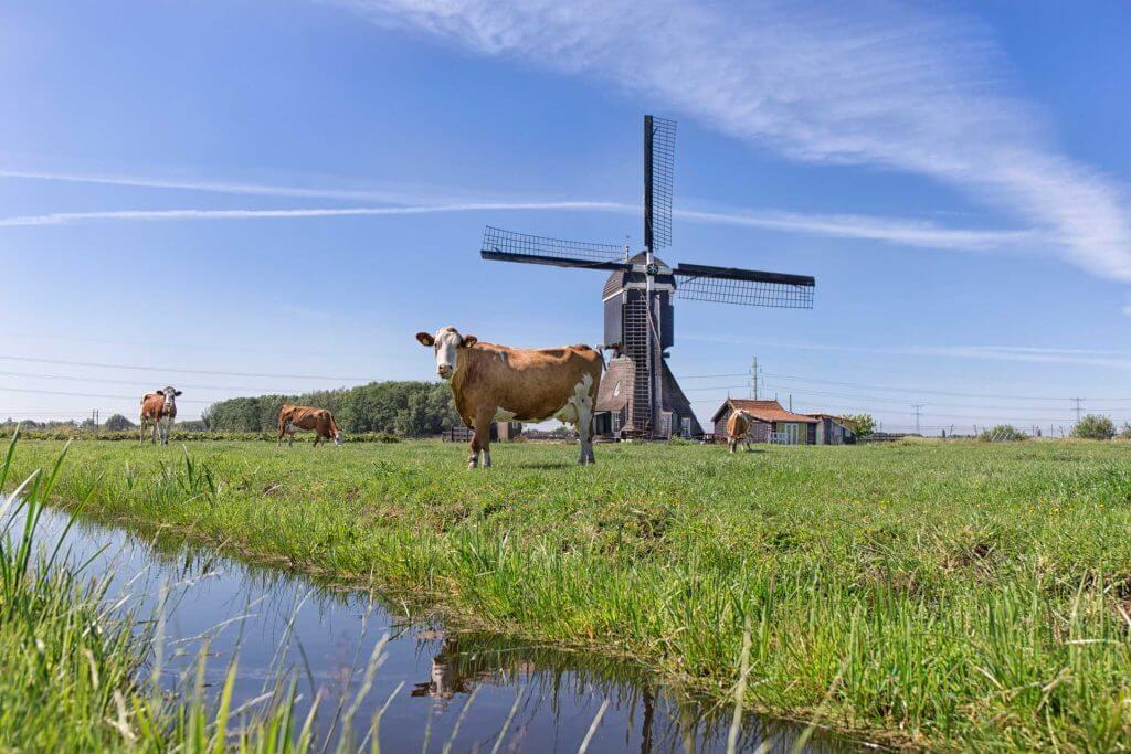 PPP-Agro Advies - koe bij de molen
