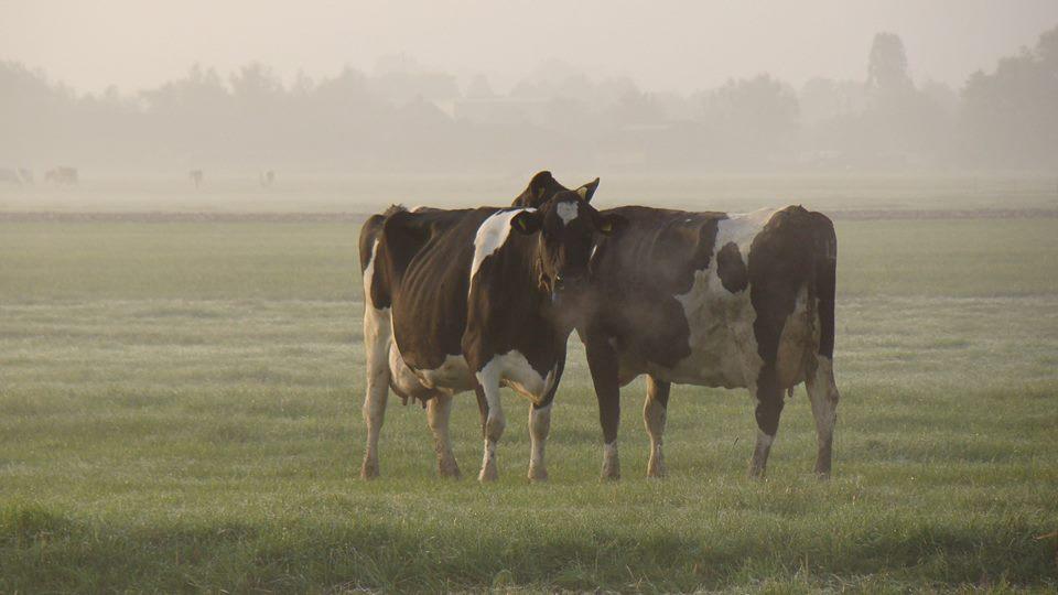 Koeien in de mist 1
