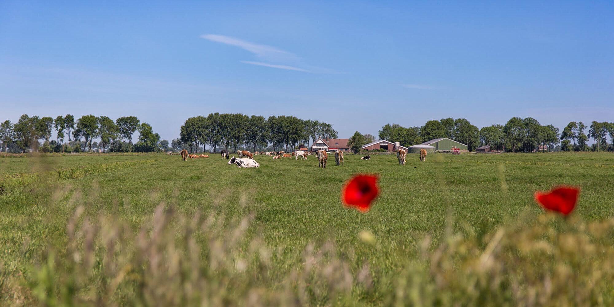 PPP-Agro Advies - koe in de wei